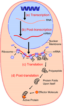 An overview of protein synthesis.Within the  of the cell (light blue),  (DNA, dark blue) are  into . This RNA is then subject to post-transcriptional modification and control, resulting in a mature  (red) that is then transported out of the nucleus and into the  (peach), where it undergoes  into a protein. mRNA is translated by  (purple) that match the three-base  of the mRNA to the three-base  of the appropriate . Newly synthesized proteins (black) are often further modified, such as by binding to an effector molecule (orange), to become fully active.