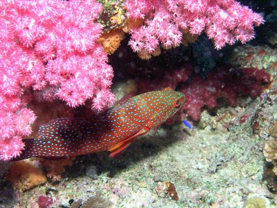 grouper fish with pink red coral