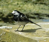 Adult male Pied Wagtail