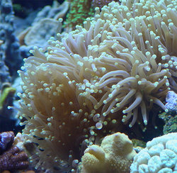 Clownfish in their magnificent sea anemone home.