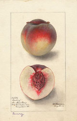 Peach (variety Berry) - watercolor 1895