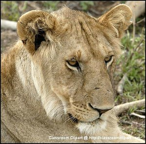 A Lion resting at a reserve in Kenya Africa. Image provided by Classroom Clip Art (http://classroomclipart.com)