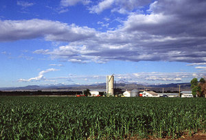 Corn production in